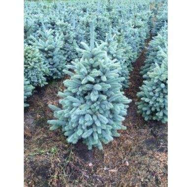 Picea pungena Christmas Blue --500x500
